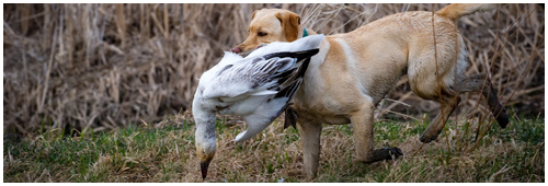 Lili the labrador hunting geese during a hunting day of migratory birds in the region of Victoriaville